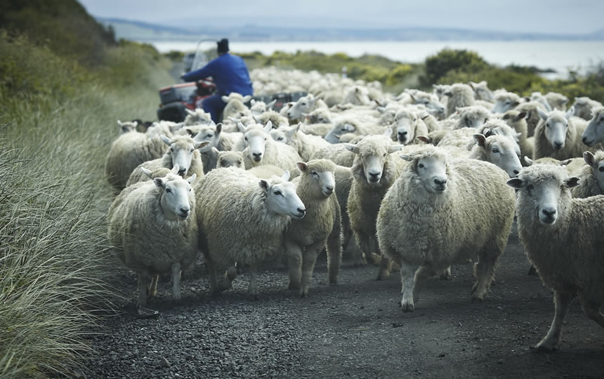 Sheep being moved