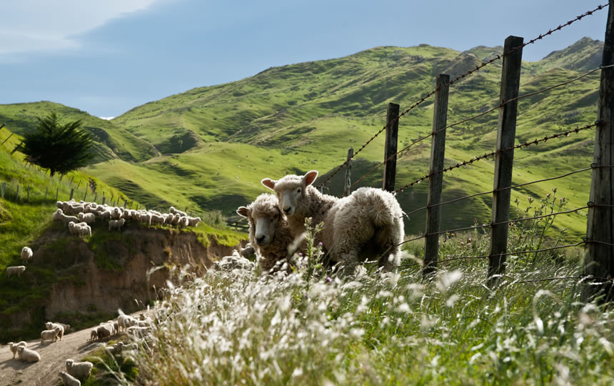 Sheep on fenceline