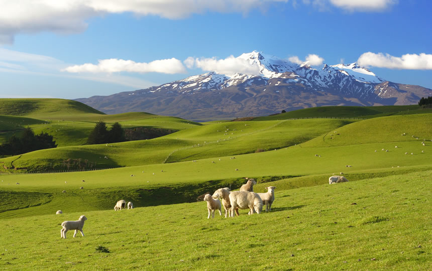 Sheep with mountain backdrop