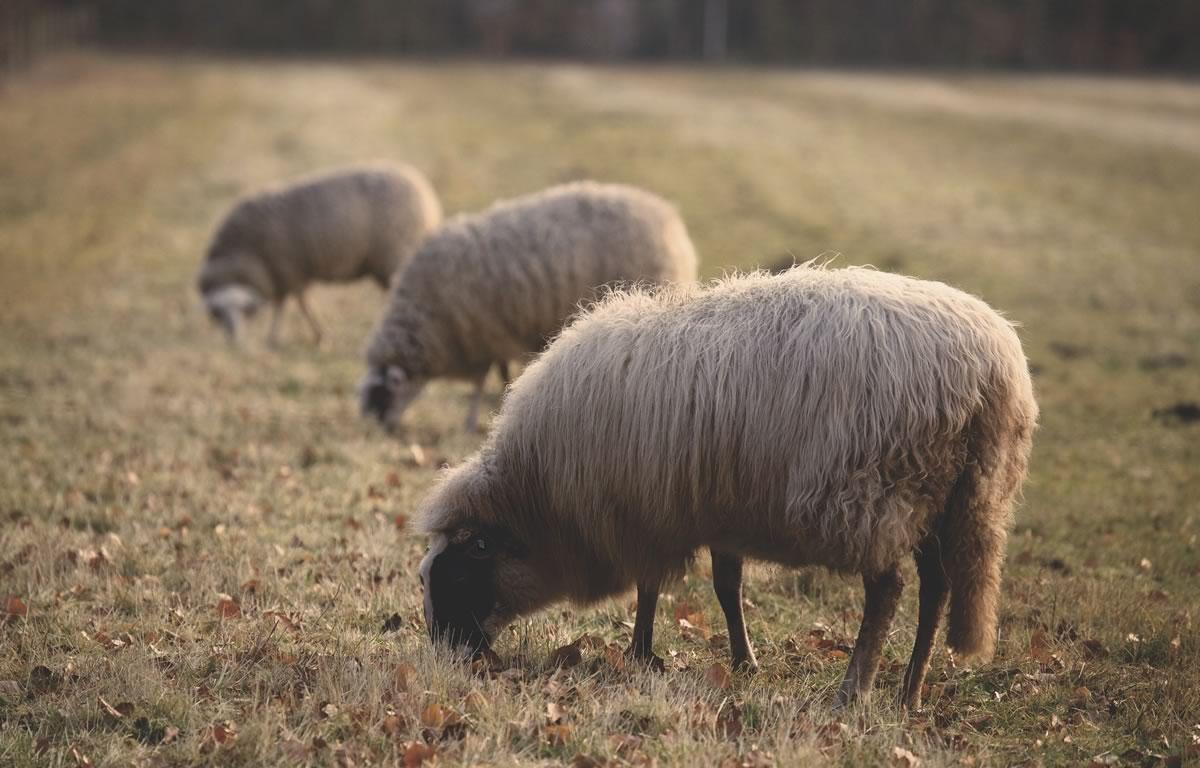 Why Sheepskin